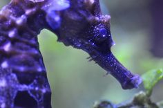 Purple Seahorse's are my favorite.