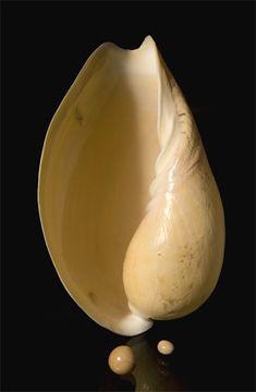 Perle de Melo broderipii