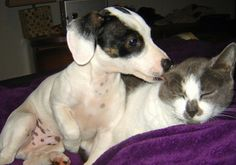 Spot the Dachshund / Poodle Mix whispers sweet nothings to the kitten