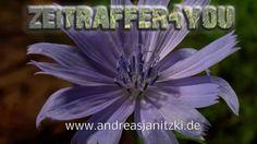 Gewöhnliche Wegwarte Cichorium intybus succory coffeeweed Blooming Timel...
