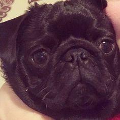 Being a good girl #pug#pugs#puglove#puglife#puglovers#pugpuppy#balckpug#blackpuppy#pugsofinstagram#pugsofinsta#pugoftheday#pugnation#cutepug#funnypug#dogstargram#cutedogs#doglovers#puppies#cutepuppies#puppylove#puppiesofinstagram#pets#petsforlife#petsofinstagram