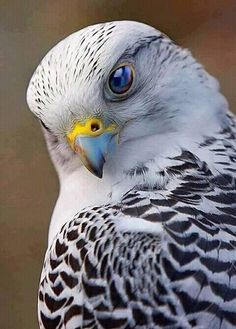 Gyrfalcon, as in Claire Delacroix's fictional world of Inverfyre, in the medieval romance The Scoundrel