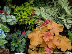 Brunnera, coral bells, perennial fuchsia, heuchera, Japanese fern in my garden. All perfect for shade, or part sun.