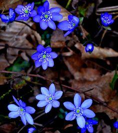 Hepatica Nobilis, Frühling, Blau -