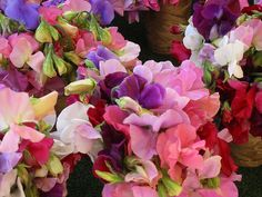 Sweet Peas - I can't pick just one favorite color, they are all so beautiful!!