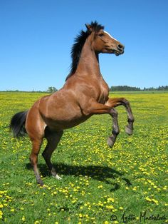 bay arabian horse