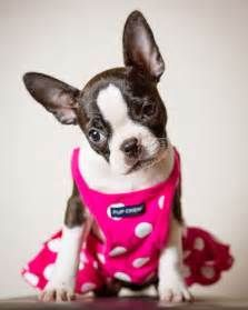 1000+ ideas about Boston Terrier Costume on Pinterest | Boston terrier puppies, Boston terriers ...