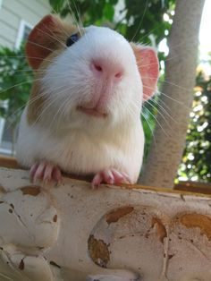 Lovely piggy face #Guineapigs #pets #animals