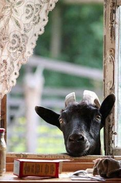 'Farmer, any chance I can join you for some Breakfast please?' - Cheeky Goat poking his head in the Farmer's Kitchen Window