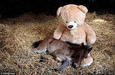 Newborn foals rely on their mothers to provide everything from food to motherly affection. But after Breeze, a Dartmoor Hill pony, was orphaned, his cuddles have come from a 4ft teddy bear, which rescuers have given him as a surrogate mother. One-week-old Breeze was found abandoned on Dartmoor National Park on May 24 when he was just a few hours old.