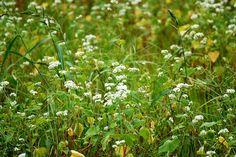 菰野町西菰野地区 そばの花  平成24年9月23日撮影