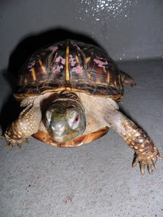 Beauty the box turtle was painted before rescue.