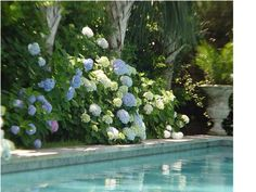 Beautiful - hydrangeas by the pool
