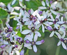 """Melia azederach """"Chinaberry Tree"""""""