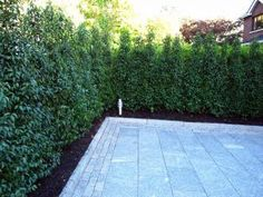Portuguese Laurel is a premium choice for creating an instant and formal hedge and an excellent alternative to the usual choices. Privacy Hedge, Garden Privacy, Garden Shrubs, Garden Fencing, Privacy Trees, Tropical Backyard, Backyard Pool Designs, Backyard Landscaping, Little Gardens