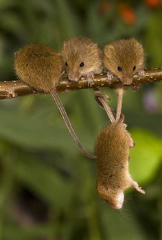 Harvest Mouse by Ben Andrew #Photography #Mouse -- He's really cute OUTSIDE. Description from pinterest.com. I searched for this on bing.com/images