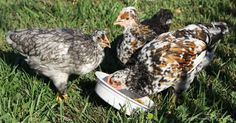 Fermented Chicken Feed How To - http://www.ecosnippets.com/livestock-animals/fermented-chicken-feed-how-to/