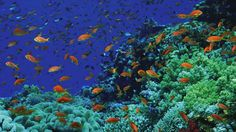 Go snorkeling at Sharm El Sheikh, Egypt. (I hear the Four Seasons has the best snorkeling site on the reef. Underwater Wallpaper, Underwater Pictures, Underwater Fish, Gopro Underwater, World Wallpaper, Fish Wallpaper, Red Sea Diving, Diani Beach, Orange Fish