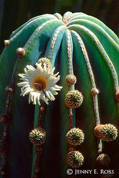une merveille ! l'art de Dame Nature: astrophytum myriostigma