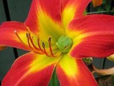 Point-Of-View daylily with visitor