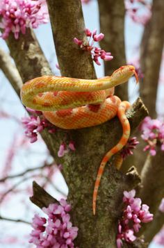Amelanistic albino corn snake is commonly referred to as red albino cornsnake.
