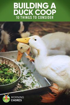 Make no mistake! If you're planning to build a duck coop, be sure to follow these 10 important rules. Or else...