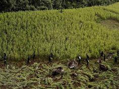 Colombia y Alemania formalizan apoyo a sustitución de cultivos ilícitos