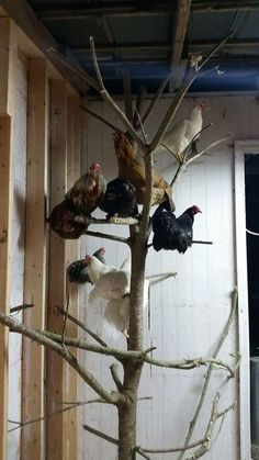 Chicken perches - Use a small tree in the coop! Chicken perches - Use a small tree in the coop! Chicken Roost, Chicken Garden, Backyard Chicken Coops, Chicken Coop Plans, Building A Chicken Coop, Diy Chicken Coop, Backyard Farming, Chickens Backyard, Backyard Coop