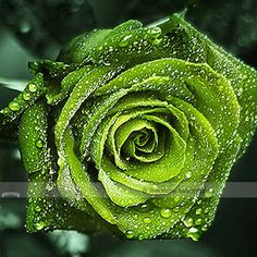 Cheap plants for homes, Buy Quality green rose seeds directly from China rose seeds Suppliers: green rose seeds,bonsai rose flower seeds rare potted plant for home garden Beautiful Flowers Wallpapers, Beautiful Roses, Garden Plants, House Plants, Flowers Garden, Indoor Plants, Rose Bush, Blooming Plants, Exotic Flowers