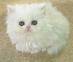 Lindo Filhote de Gato Persa Branco