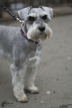 Love this cut! Dexter by BigBlueWolf Photography #Miniature #Schnauzer