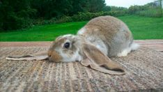 english-lop-bunny-620x349.jpg (620×349)