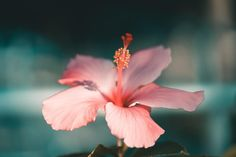 Are you interested in bigger, better, and longer hibiscus blooms? Then read the Ultimate Guide to Indoor Hibiscus Care for expert tips! Hibiscus Bush, Growing Hibiscus, Hibiscus Tree, Hibiscus Garden, Hibiscus Rosa Sinensis, White Hibiscus, Hibiscus Flowers, Exotic Flowers, Poppies