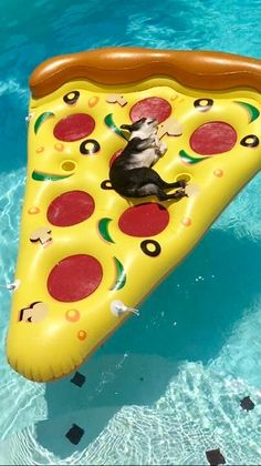 Boston terrier floating on pizza