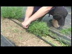A Guide to Lavender : Pruning Lavender (this is a good video on how to take care of a lavender plant that is new) Lavender Pruning, Growing Lavender, Lavender Garden, Lavender Fields, Growing Herbs, Lavender Plants, Lavander, Outdoor Plants, Outdoor Gardens