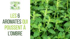 Les 6 aromates qui poussent à l'ombre | Dr. Jonquille & Mr. Ail