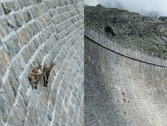 Goat Wall Sure-footed mountain goats climb up an almost vertical dam in search of salt. The alpine ibexes were photographed in Gran Paradiso...