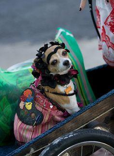 Chihuahua dressed as Frida Khalo. FTW.