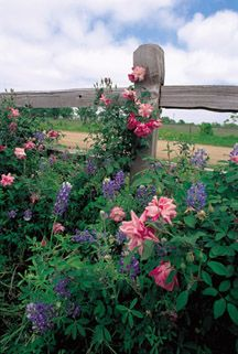 Old Blush - Great rose for the high plains. Treat as a flowering shrub. Repeat, fragrant, hips, medium pink. $18.95 for 2 gallon container rose.