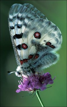 "Alpine Apollo ~ Miks' Pics ""Butterflies and Moths l"" board @ http://www.pinterest.com/msmgish/butterflies-and-moths-l/"