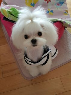 Maltese and Children: Is It a Good Combination - Champion Dogs Teacup Maltese, Maltese Dogs, Cute Puppies, Cute Dogs, Dogs And Puppies, Bulldog Puppies, Maltese Haircut, Le Terrier, Dog Rules