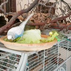 Parakeet Colors, Parakeet Care, Budgie Parakeet, Budgies, Budgie Toys, Funny Birds, Cute Birds, Loro Animal, Pet Bird Cage