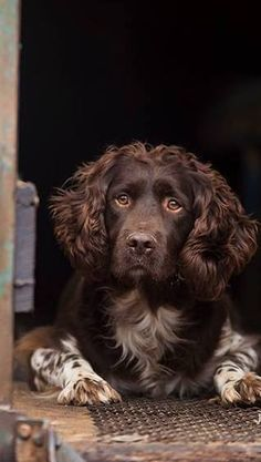 This is the official page of Gentleman Bobwhite, dedicated to the outdoor lifestyle and the pleasures of pursuing the gentleman of game birds: the bobwhite quail. Working Springer Spaniel, Working Spaniel, Springer Spaniel Puppies, Dangerous Dogs, Pets 3, English Springer Spaniel, Brown Dog, Medium Dogs, Dog Photos