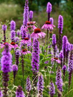 Perennials Purple Coneflower and Prairie Gayfeathers (Echinacea purpurea and Liatris spicata) Laura Berman - Prairie Planting, Prairie Garden, Garden Cottage, Garden Farm, Herb Garden, Garden Kids, Big Garden, Easy Garden, Fall Plants