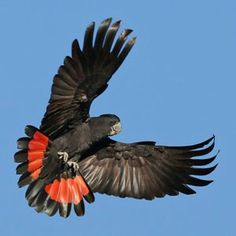 Redtailed black cacatoo