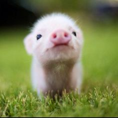 Micro nano mini pig If someone bought me this my life would be made.