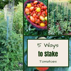 5 Ways to Stake Tomatoes on The Free Range Life at http://thefreerangelife.com/5-ways-stake-tomatoes/