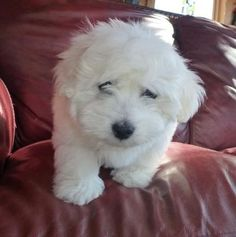 how to give a coton de tulear a puppy cut