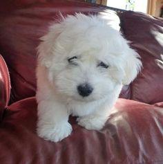 Fluffy white Coton de Tulear puppy. http://dogtraining-x9q1bv7c.cbbestonlinereviews.com