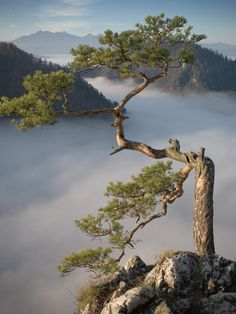 Tree above the Mist. Photo by Photographer Tomasz Dziedzic Landscape Photos, Landscape Paintings, Landscape Photography, Nature Photography, Weird Trees, Popular Tree, Unique Trees, Old Trees, Nature Tree